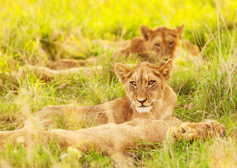 African lion cubs. Photo of an African lion cubs , South Africa safari, Kruger National Park reserve, wildlife safari, cute small lioness child, exotic wild royalty free stock photo