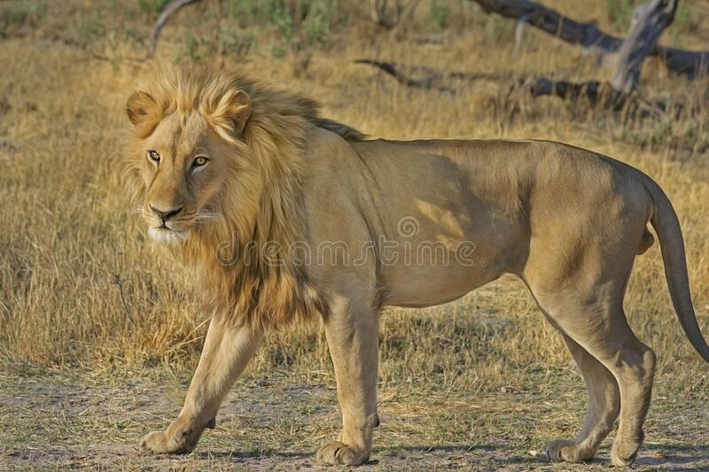 African lion in field, Botswana stock image