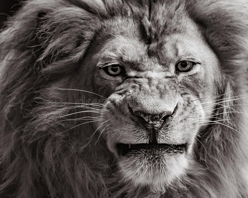 African Lion. Frontal Portrait of an African Lion in Black and White Sepia stock photos