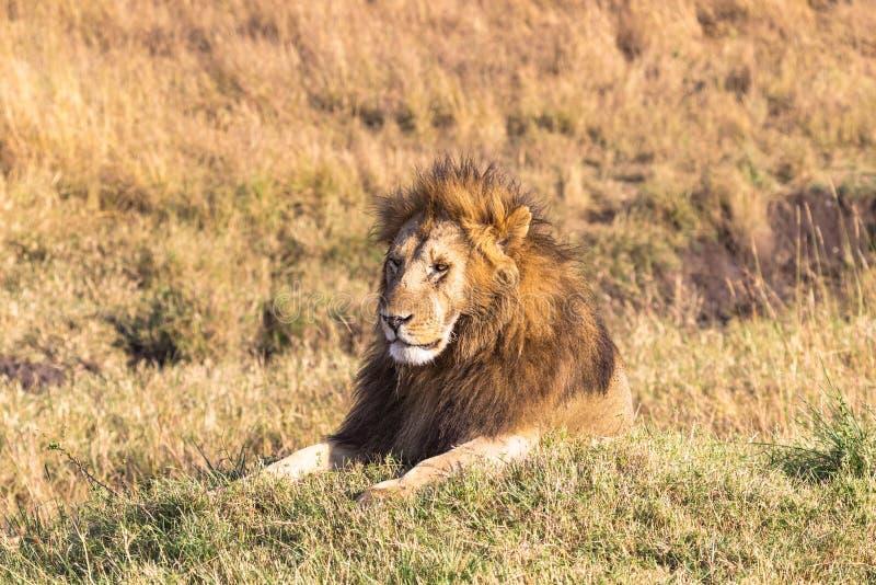 African lion head in full frame. Masai Mara, Africa royalty free stock photos