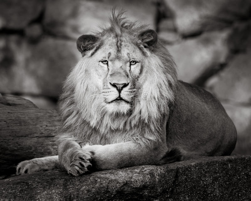 African Lion II. Frontal Portrait of an African Lion stock image
