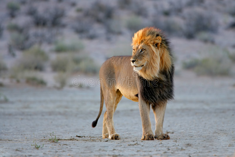 African lion, Kalahari, South Africa royalty free stock images