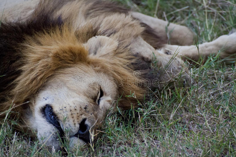 Download African Lion in Kenya stock photo. Image of outside, backcountry - 26942666