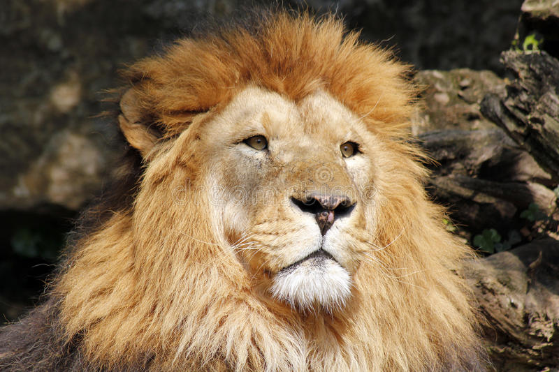 African Lion Wallpapers, 39 African Lion HD Wallpapers/Backgrounds ...
