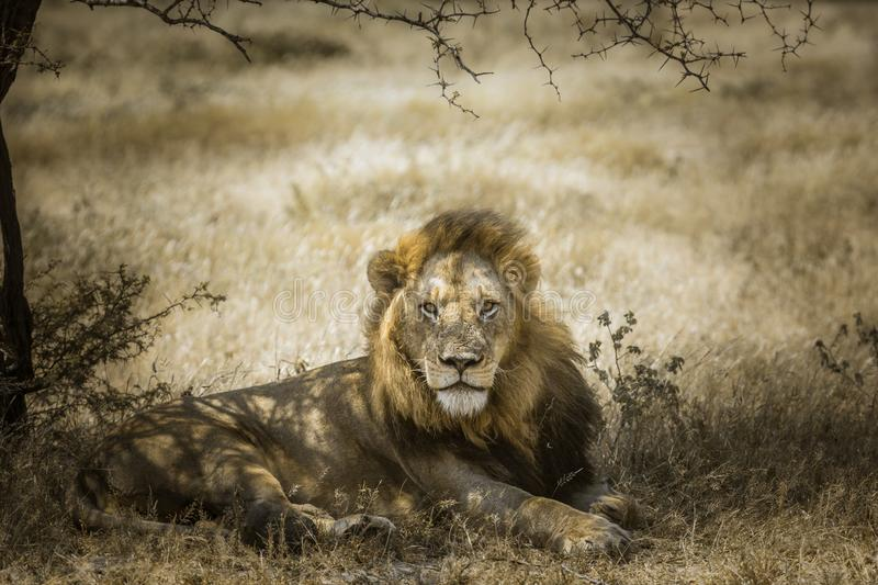 African lion in Kruger National park, South Africa royalty free stock photo