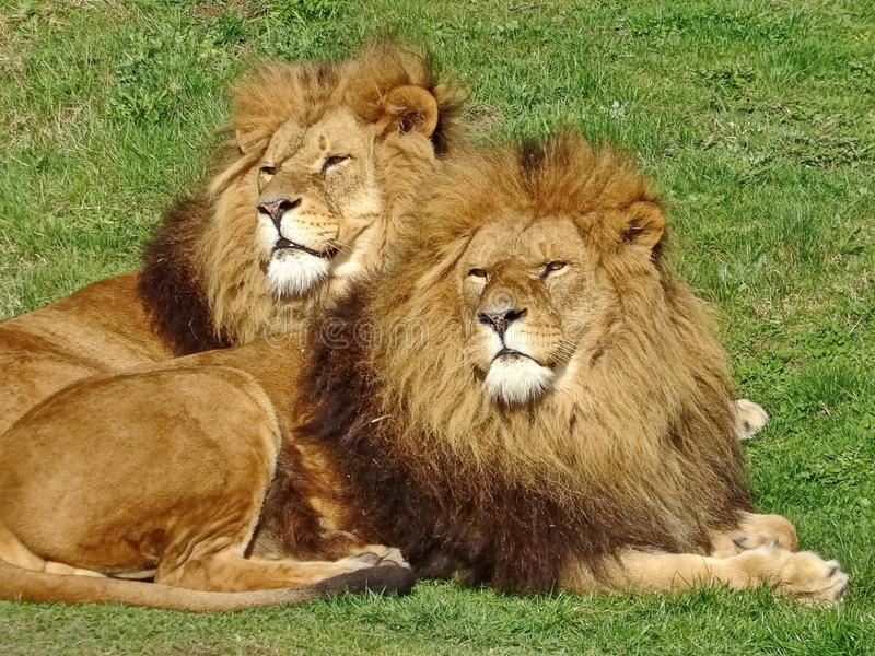 The African lion Lat. Panthera leo. Male lions have a large mane of thick hair up to 40 cm. Brothers closeup. stock images