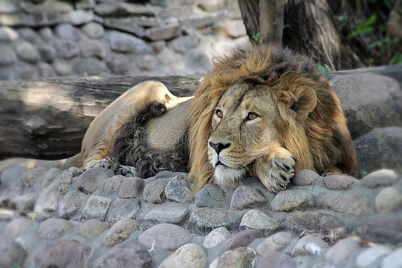 The African lion Lat. Panthera leo rests under the shadow of a tree. The king of beasts is resting. Male lions have a large mane stock photos
