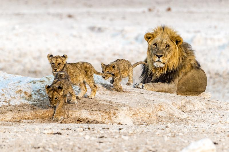 The African lion royalty free stock photography