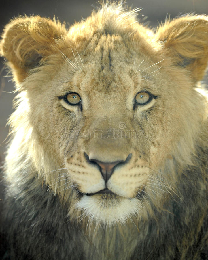 African lion male juvenile full frame, africa stock photos