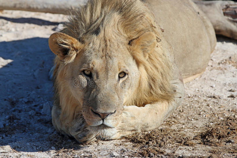 Download African Lion stock photo. Image of dangerous, national - 34992370