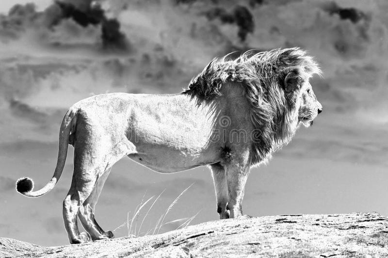 African lion (Panthera leo). African lion on the top of the kopje, along the Lion road in the Serengeti National Park. Males exceeding 250 kg in weight, it is royalty free stock images