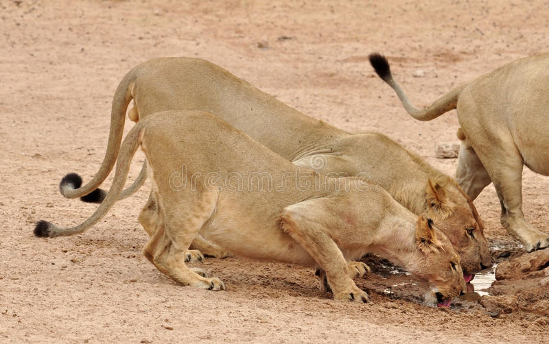 Download African Lion (Panthera Leo) Stock Photo - Image: 25564540