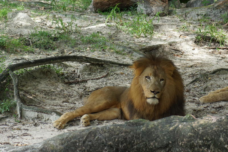 African Lion - Panthera leo. Inside a pride of African Lion - Panthera leo royalty free stock images