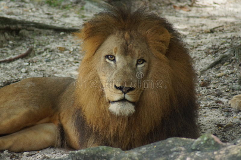 African Lion - Panthera leo. Inside a pride of African Lion - Panthera leo royalty free stock image