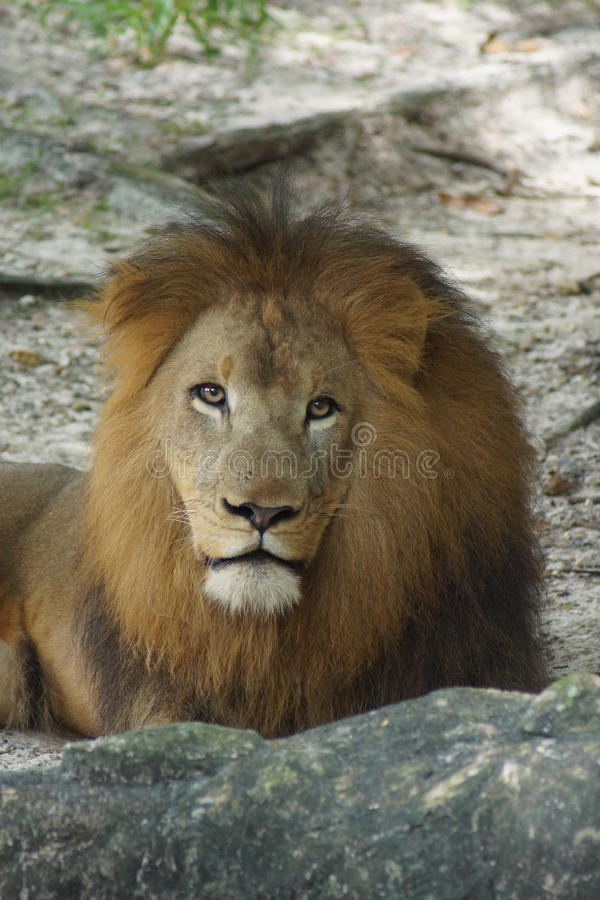 African Lion - Panthera leo. Inside a pride of African Lion - Panthera leo royalty free stock photo