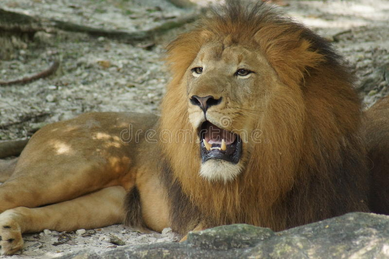 African Lion - Panthera leo. Inside a pride of African Lion - Panthera leo stock image