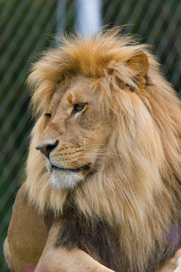 African Lion (Panthera Leo) In A Zoo Stock Photo