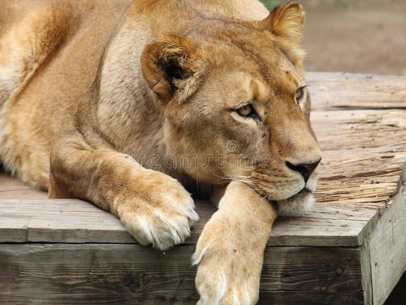 African lion resting in a zoo stock photos