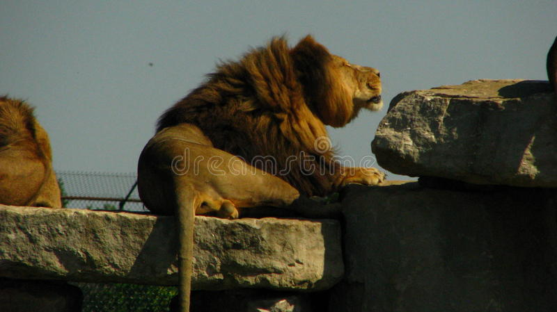 African lion roaring on a rock ledge. royalty free stock image
