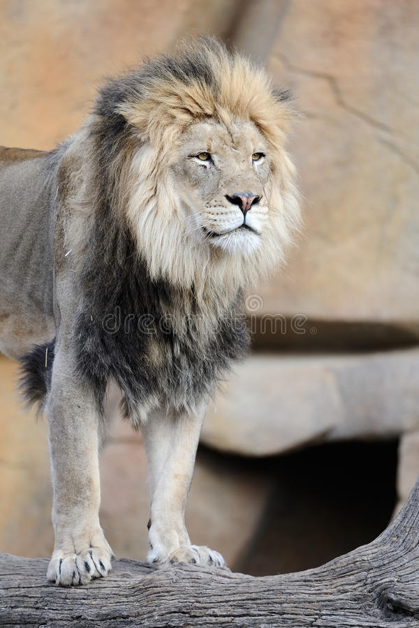 African lion standing on log royalty free stock photography