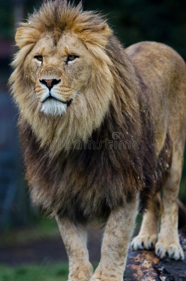 An African Lion stands proud looking at something far off in the distance.  royalty free stock photo