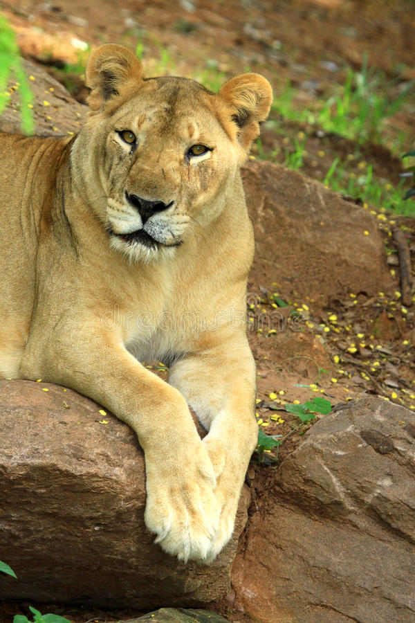 Download African Lion Staring Royalty Free Stock Photography - Image: 27062007