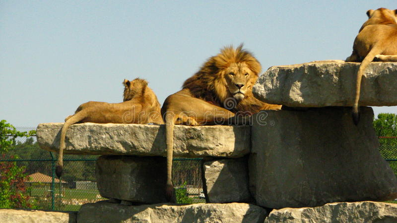African lion staring at us from a rock ledge royalty free stock photos