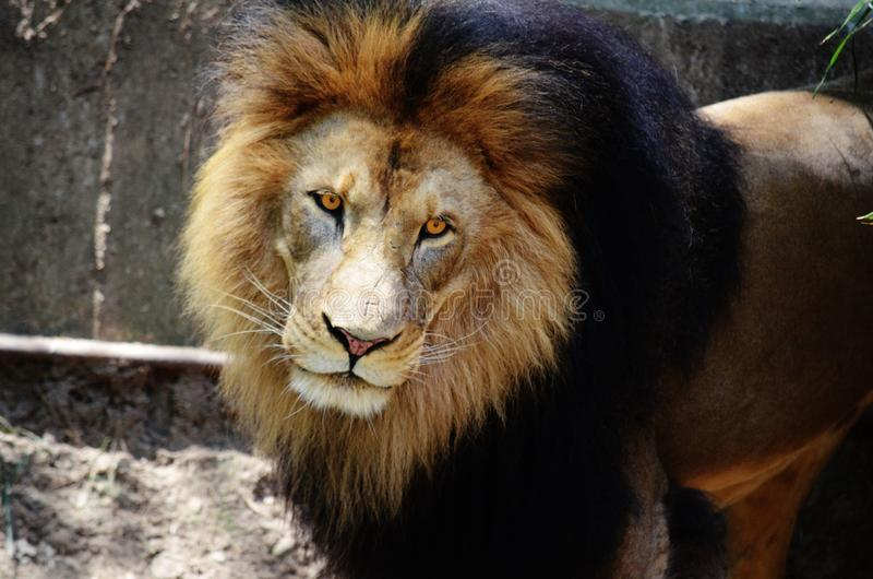 African Lion. Watchful African lion with brightened orange eyes royalty free stock photography