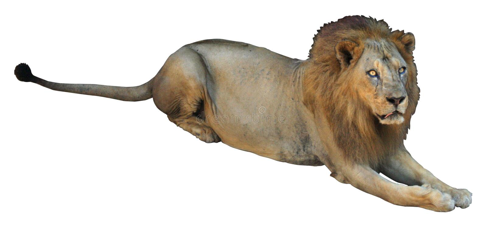 African lion on white background royalty free stock images