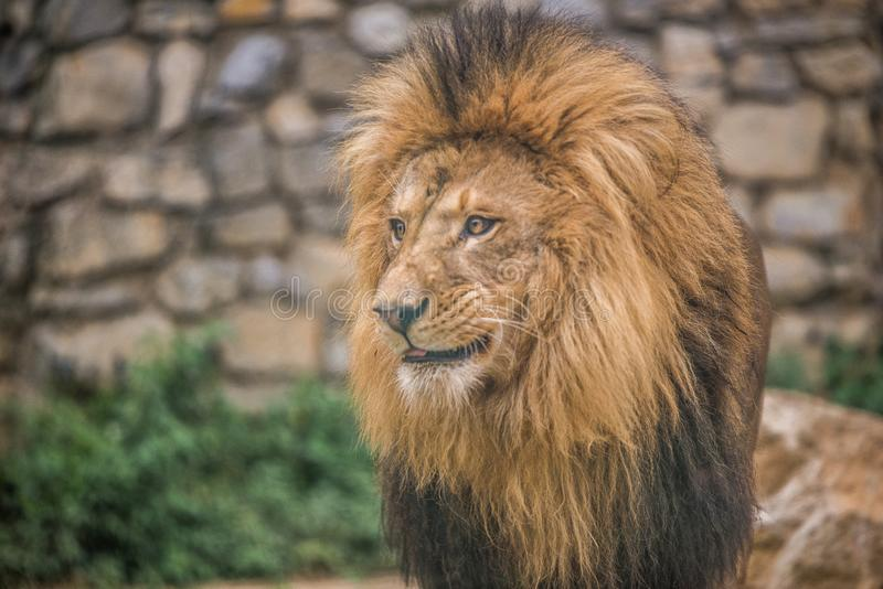 African Lion in Zoo stock photography