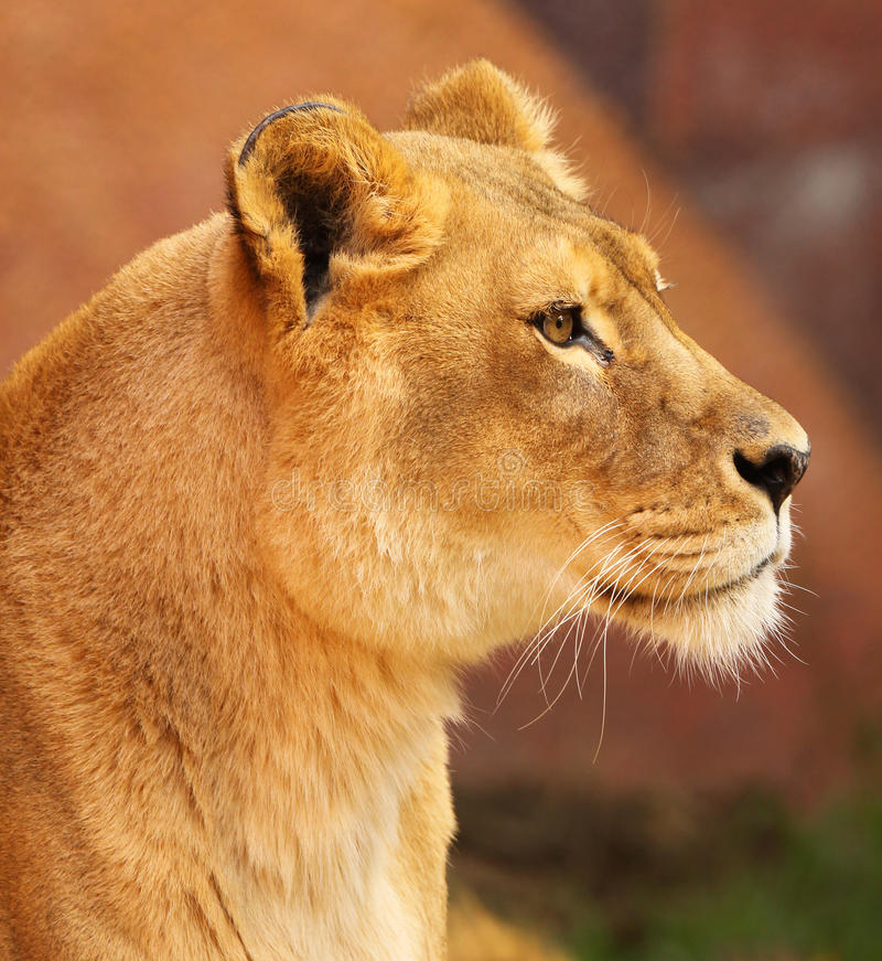 African Lioness royalty free stock photo