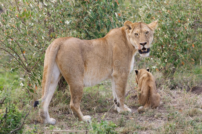 African lioness and cub (Panthera leo) royalty free stock photography