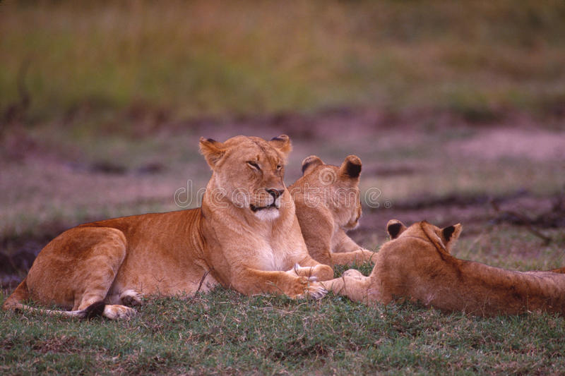 African lioness with her cubs. African lioness resting with her cubs in the wild royalty free stock photo