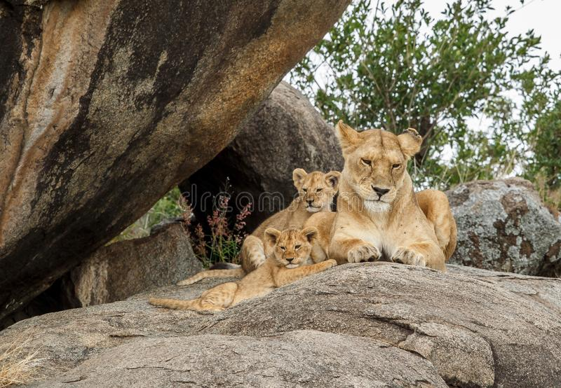 An African lioness on a kopje with her cubs stock photos