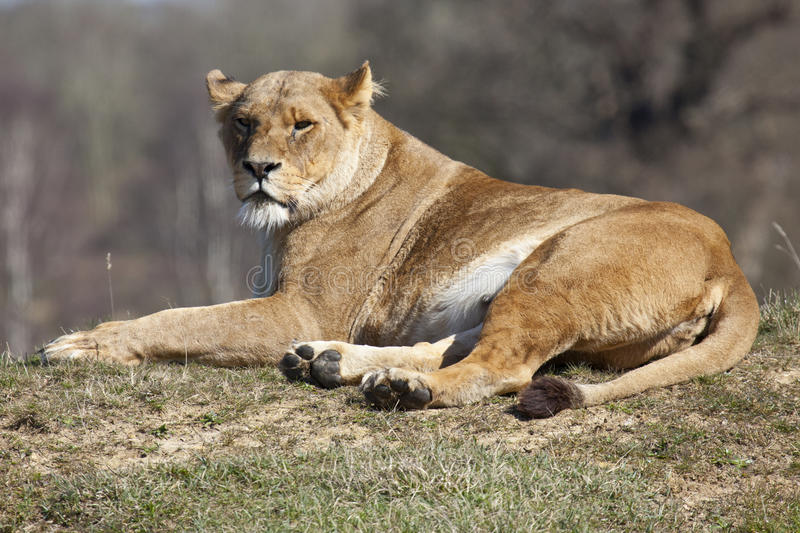 African Lioness stock photo