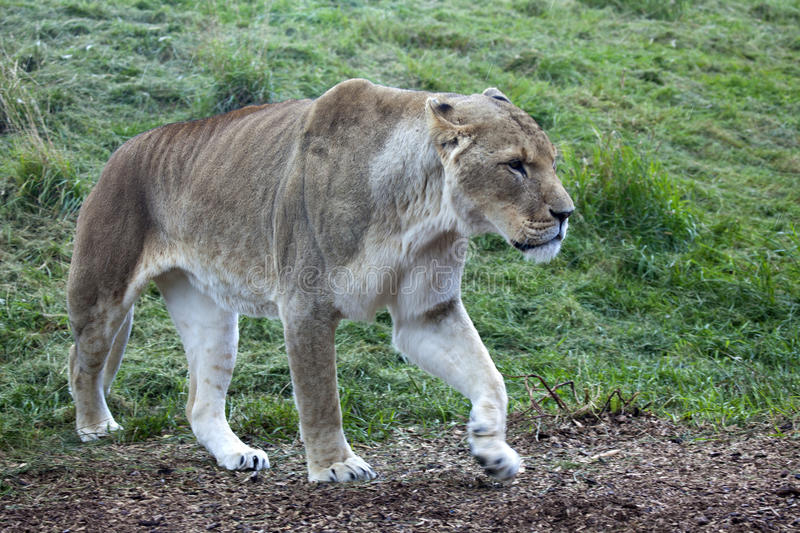 African Lioness. A landscape view of a single African Lioness royalty free stock image