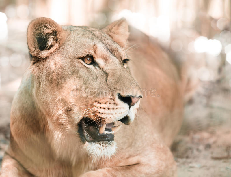 African lioness lying close-up royalty free stock photos