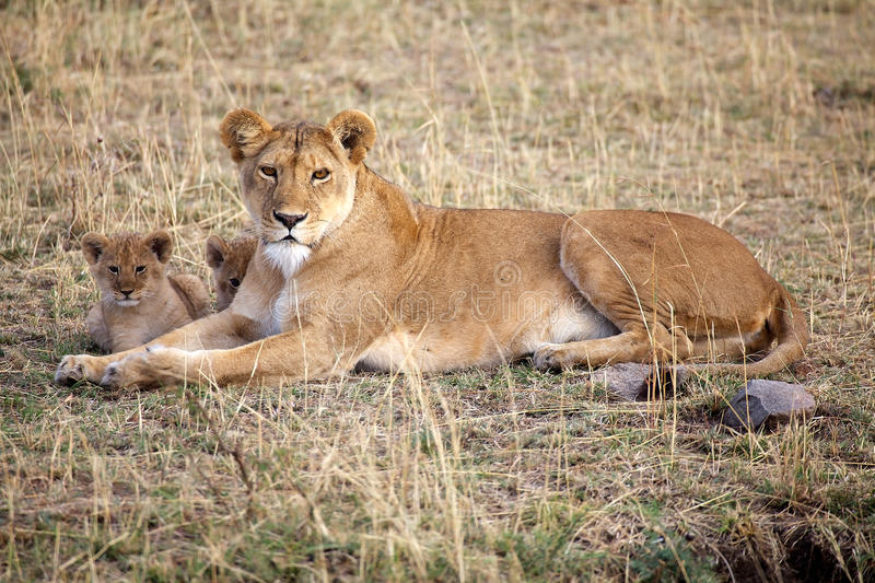 African lioness (Panthera leo) and cubs royalty free stock image