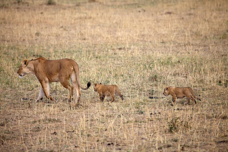 African lioness (Panthera leo) and cubs stock photography