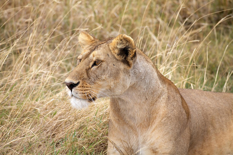 African lioness (Panthera leo). Is hunting in the african savanna stock images