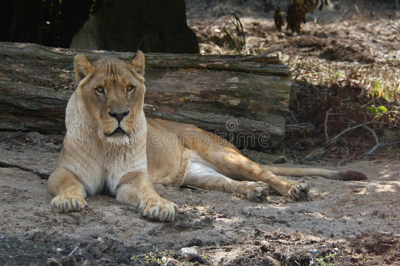 African lioness. (Panthera leo) resting stock photo