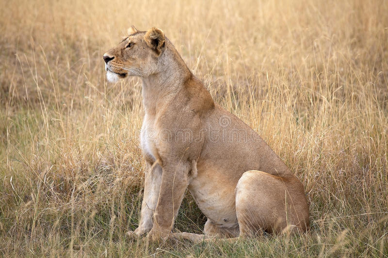 African lioness (Panthera leo). In the african savanna stock photo