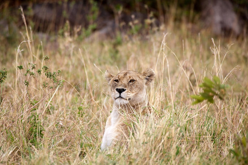 African lioness (Panthera leo) royalty free stock photos