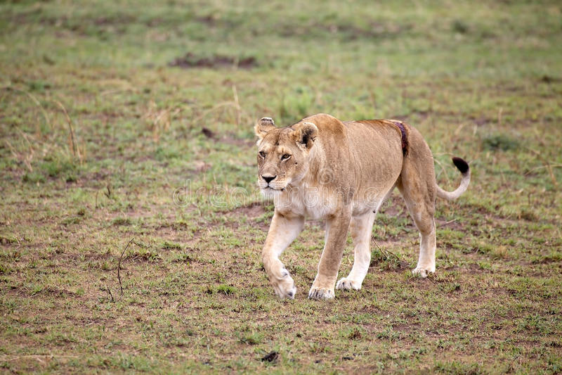 African lioness (Panthera leo). In the african savanna royalty free stock photos