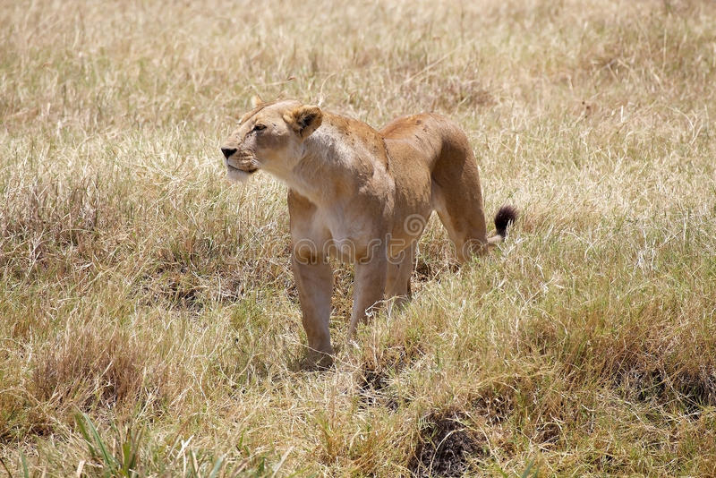 African lioness (Panthera leo). In the african savanna royalty free stock photography