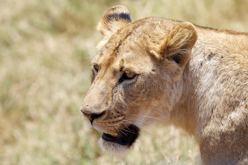 African lioness (Panthera leo). In the african savanna stock photography