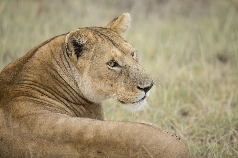 African Lioness (Panthera leo) in Tanzania stock photography