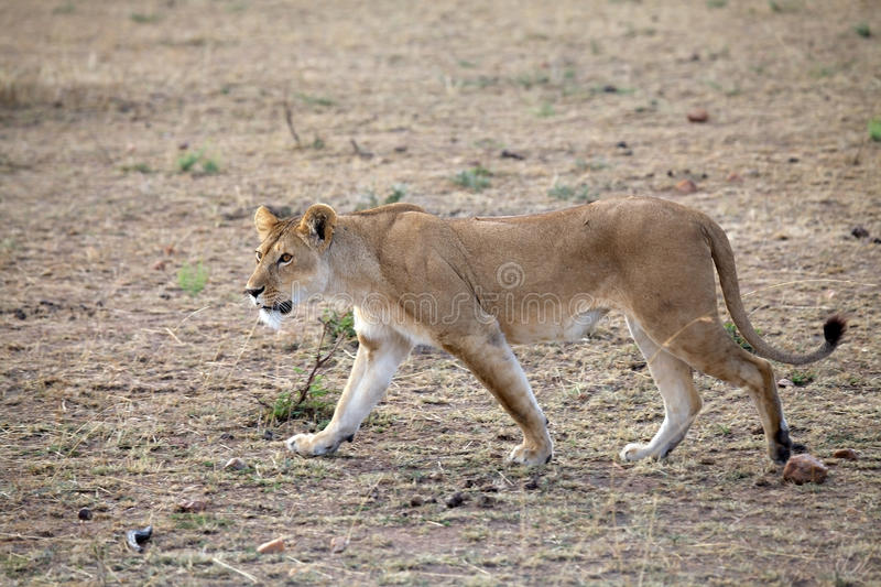 African lioness (Panthera leo) stock photos