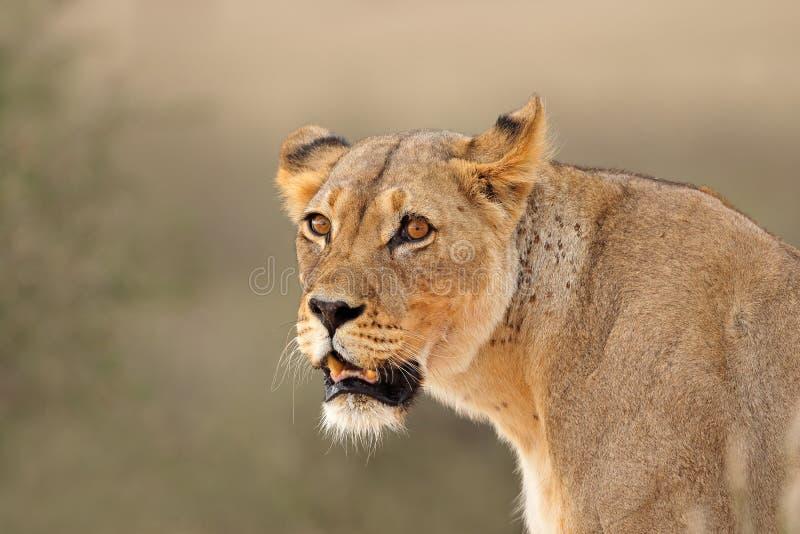 African lioness portrait stock photos
