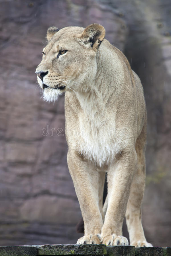 African Lioness stock image